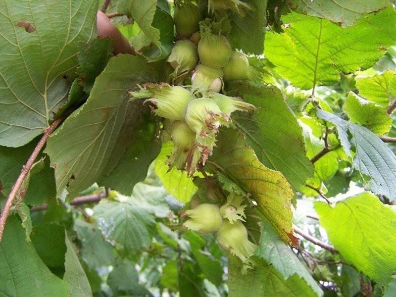 Особенности посадки и ухода за лещиной в сибири и правила выращивания фундука - всё про сады