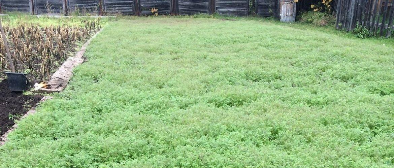 Какие сидераты посеять на лето: под картошку, заделка в почву