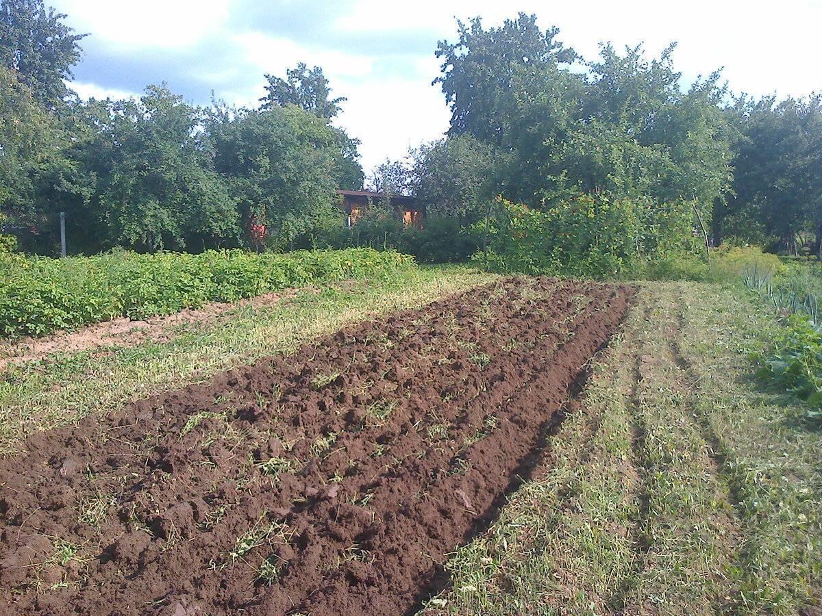 Сидераты осенью лучше не закапывать. улучшаем почву