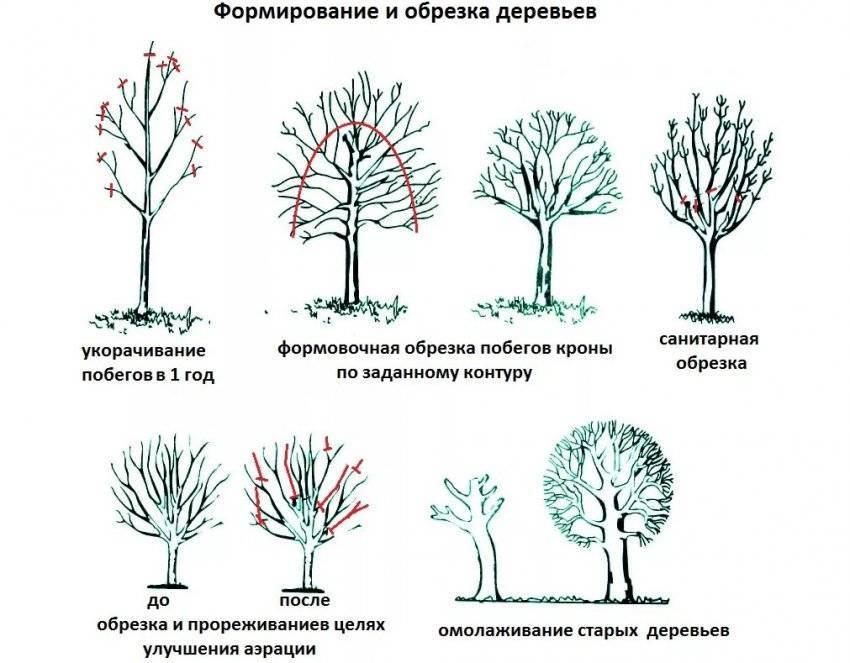 Обрезка грецкого ореха весной, летом и осенью: как правильно формировать