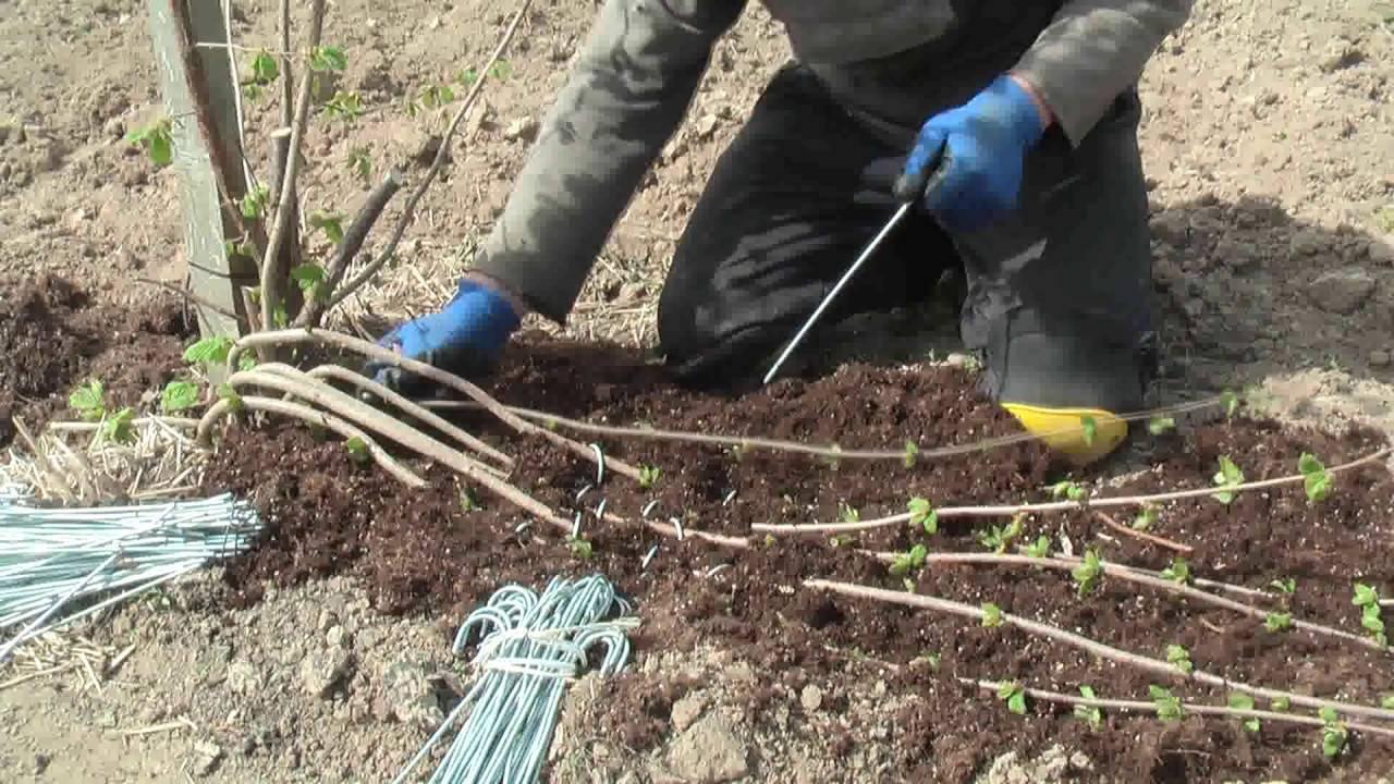 Размножение фундука: черенками, отводами, семенами