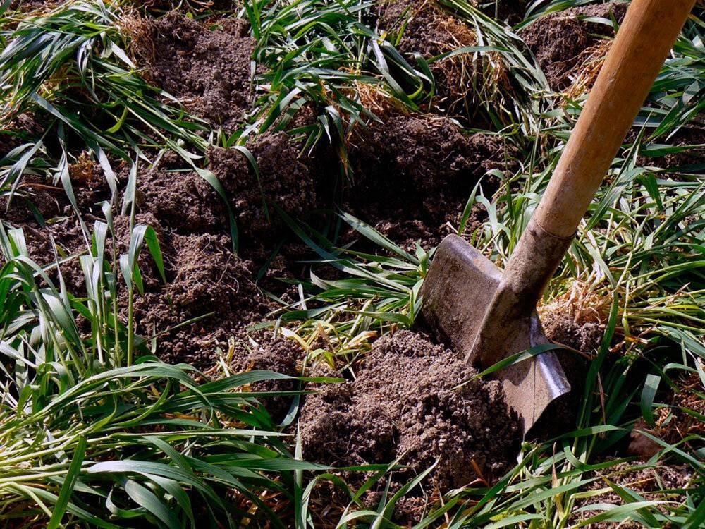 Когда и как сеять горчицу для удобрения почвы, в качестве сидерата, когда закапывать