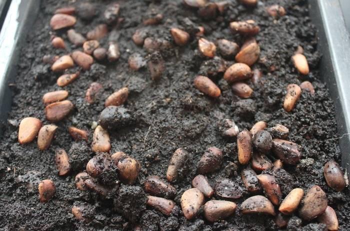 Как посадить кедр (из орешка, саженец) в домашних условиях на садовом участке пошагово с фото