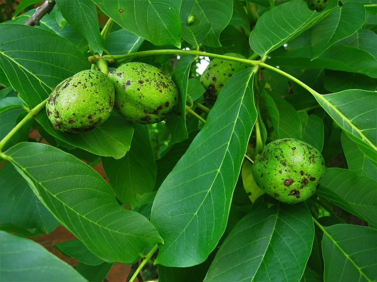 Дерево грецкий орех — советы по выращиванию, уходу и обработке. урожайность и особенности выбора места посадки