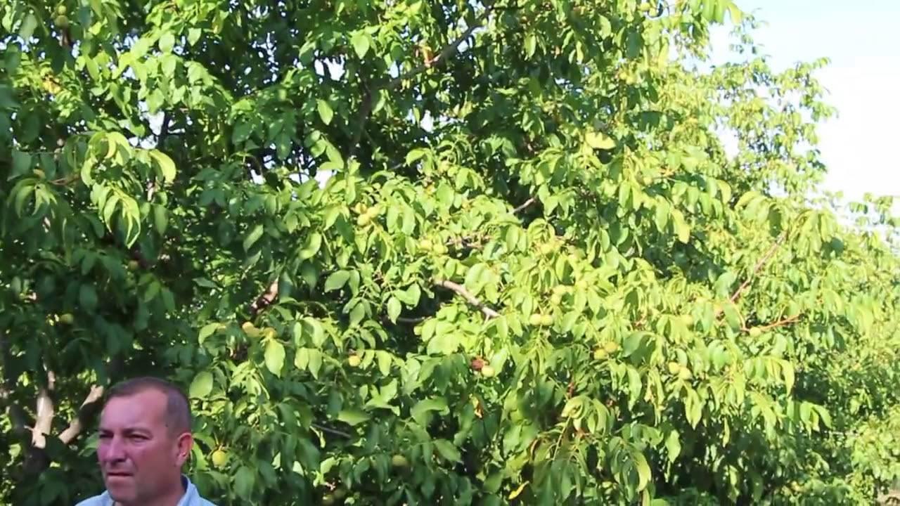 Выращивание грецкого ореха в саду — sadpavlovka.ru