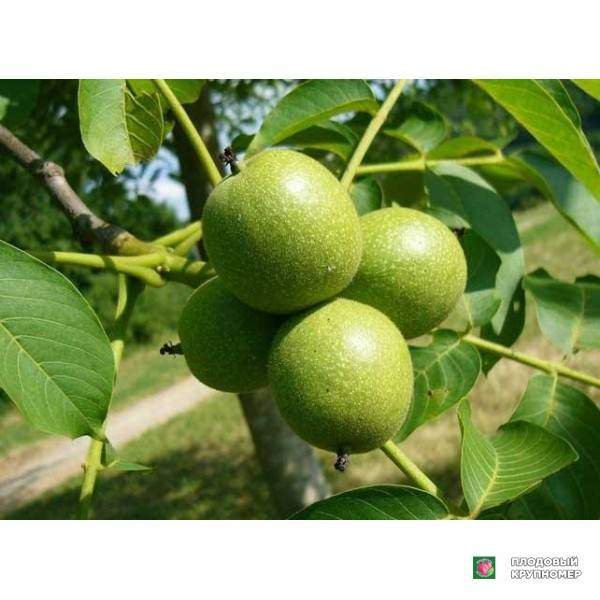 Грецкий орех выращивание обрезка лечебные и полезные свойства