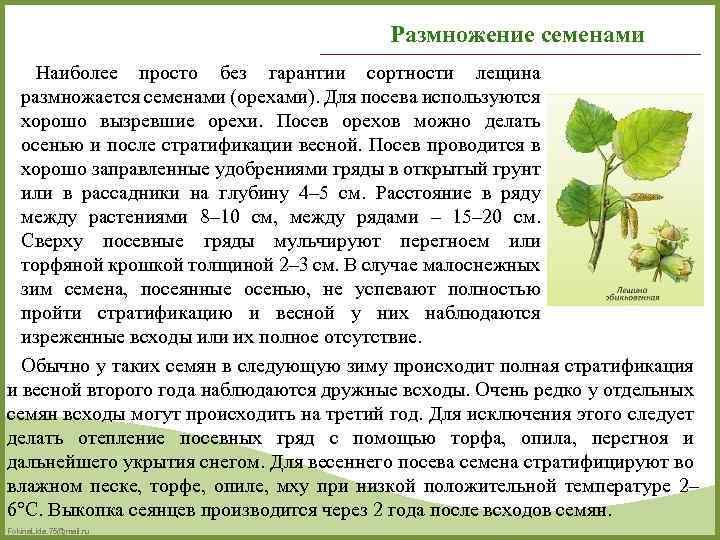 Корокия кизильниковая: содержание, уход и размножение в домашних условиях