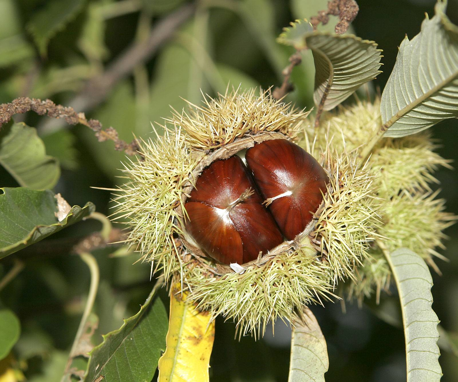 Орешки чинарики