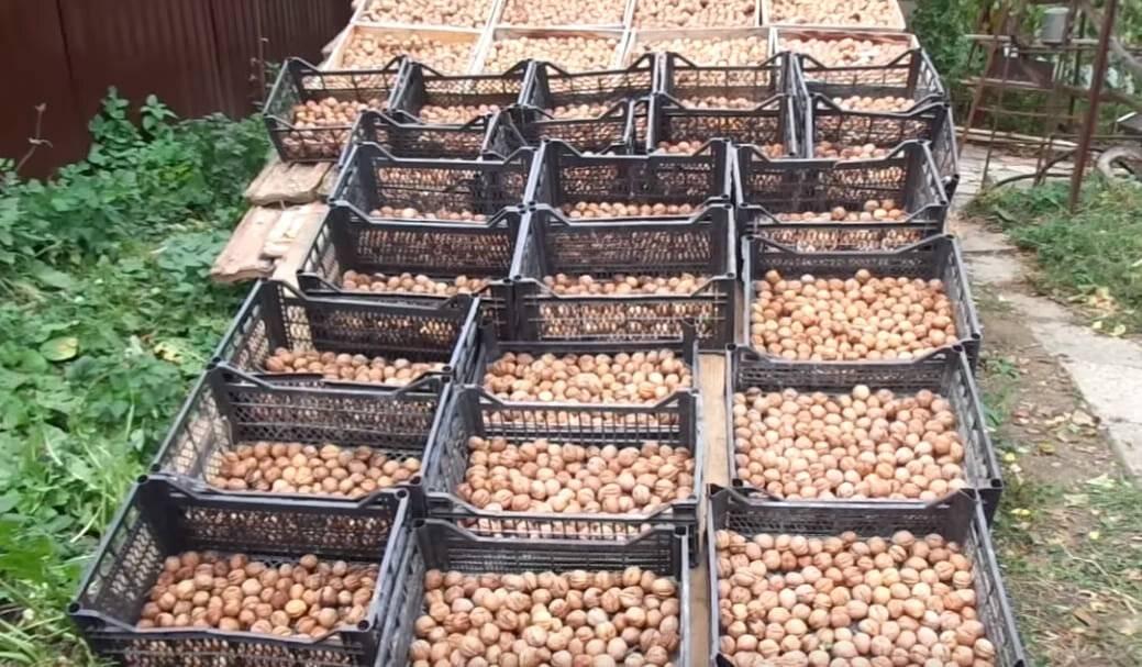 Выращивание ценных орехоплодных пород на древесину — портал ореховод