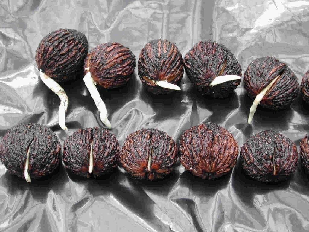 Как вырастить грецкий орех из ореха в домашних условиях, как выбрать плод для посадки и как его прорастить