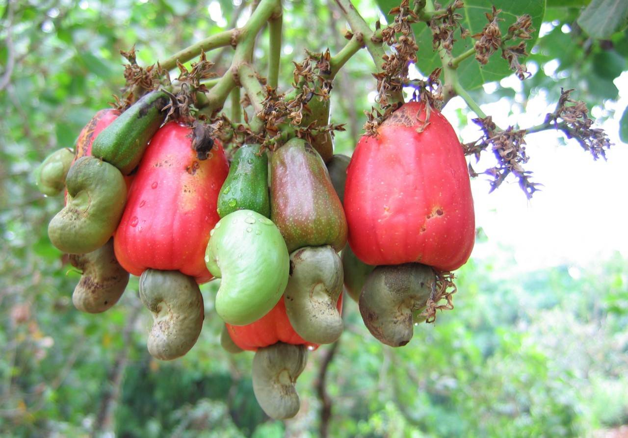 Орехи кешью: названия, состав плода и ореха, выбор, хранение, применение- орех эксперт