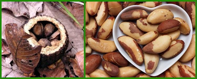 Бразильский орех: полезные свойства и противопоказания плодов