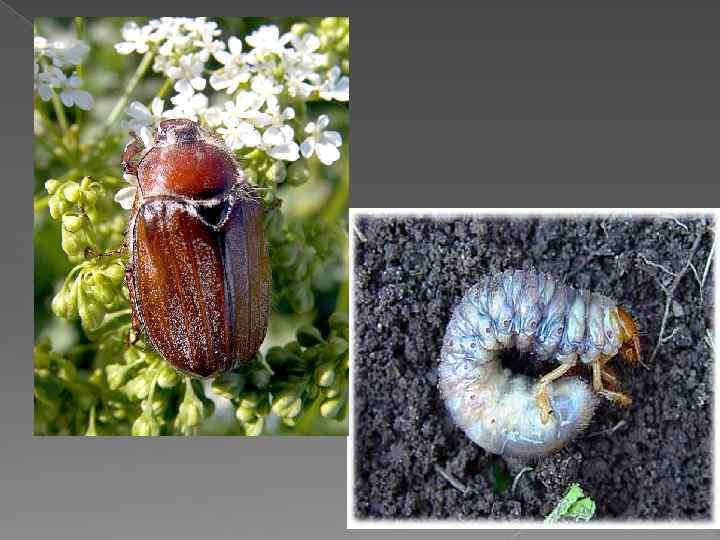 Майский хрущ - опасный вредитель для корневой системы ореха