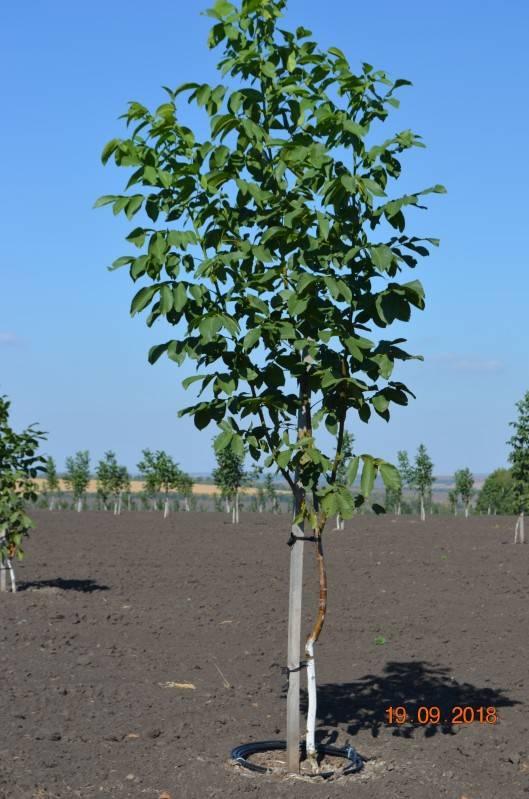 Самые северные ореховые сады Украины