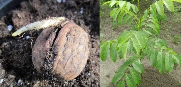Как правильно посадить грецкий орех. проращиваем семена, высаживаем саженцы, уход за грецким орехом