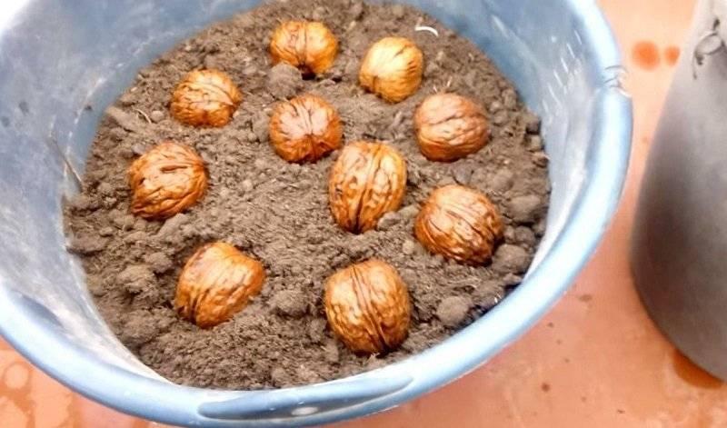 Скорлупа грецкого ореха – применение, рецепт настойки + видео