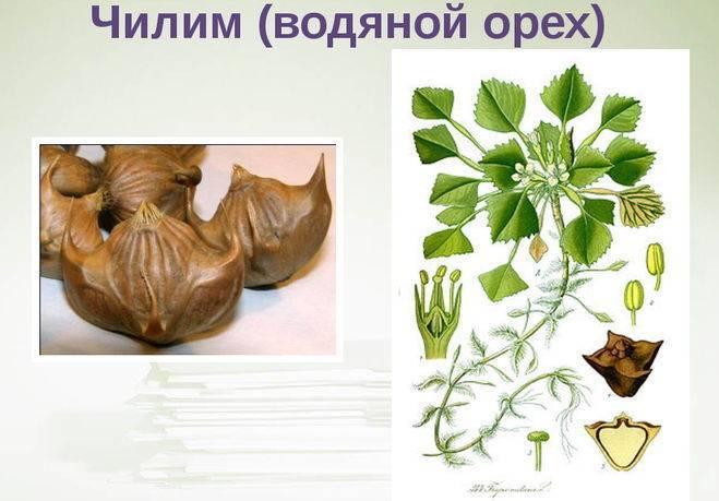 Что такое водяной орех, вред или польза