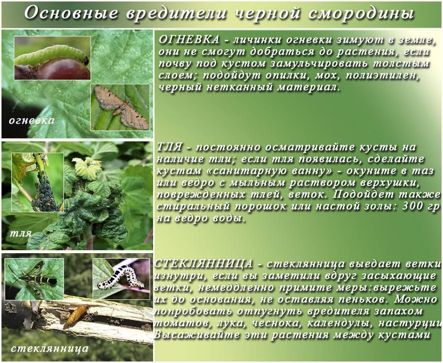 Морозостойкие сорта грецкого ореха: что это значит, какие есть зимостойкие виды, как их выращивают?