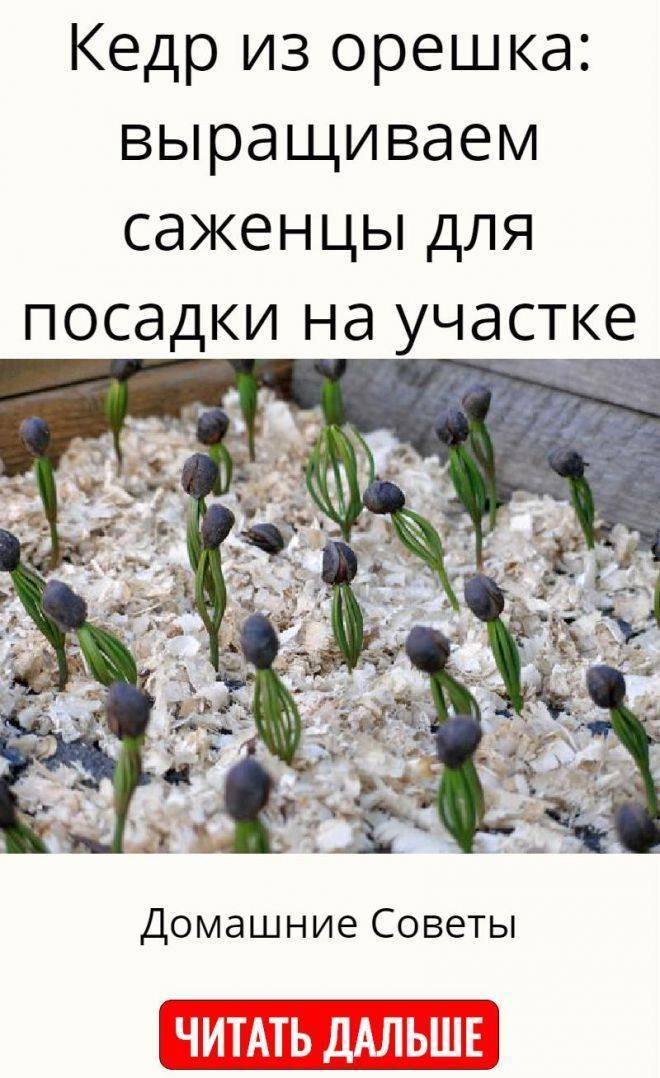 Выращивание кедров из орешков дома, посадка кедра из семян, как пересадить кедр