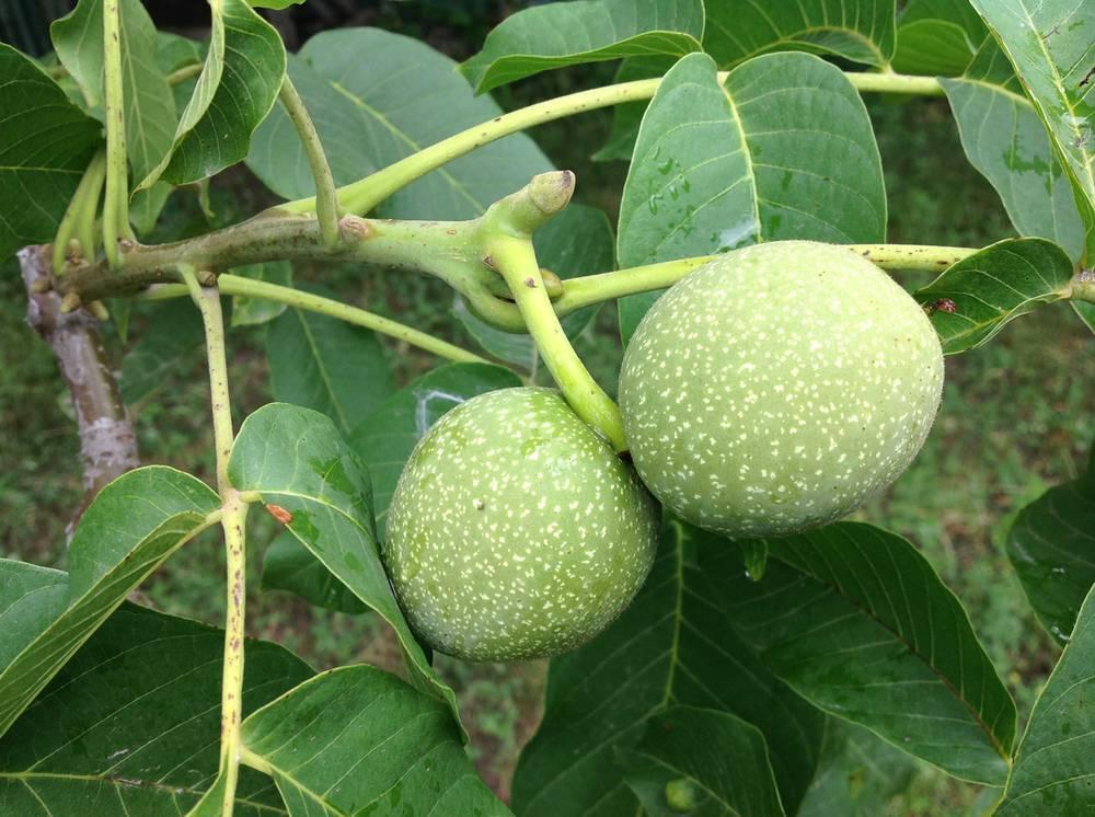 Как цветет грецкий орех фото цветения почему дерево не цветет - скороспел