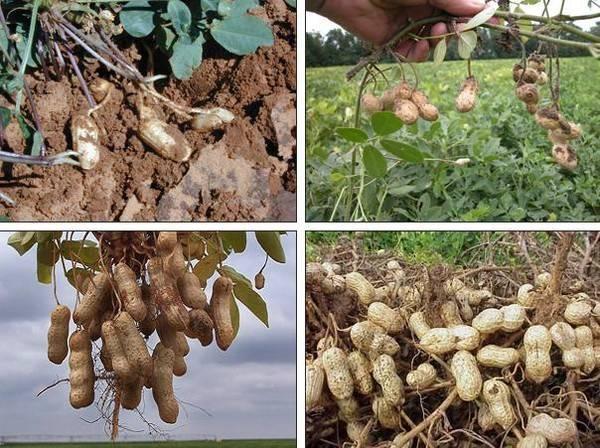 Как и где растет арахис? выращивание земляного ореха в средней полосе россии
