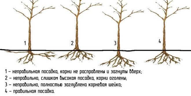 Через сколько лет начинает плодоносить яблоня. на, какой год начинает плодоносить яблоня после посадки саженцев | дачная жизнь