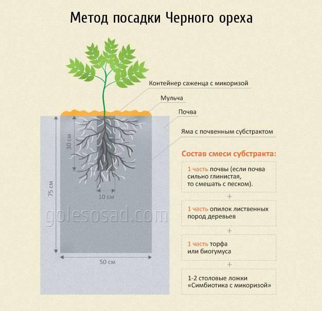 Фундук и его выращивание