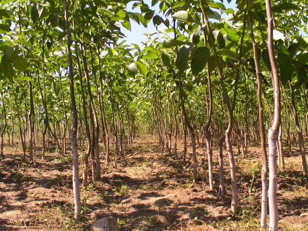 Выращивание грецкого ореха в саду