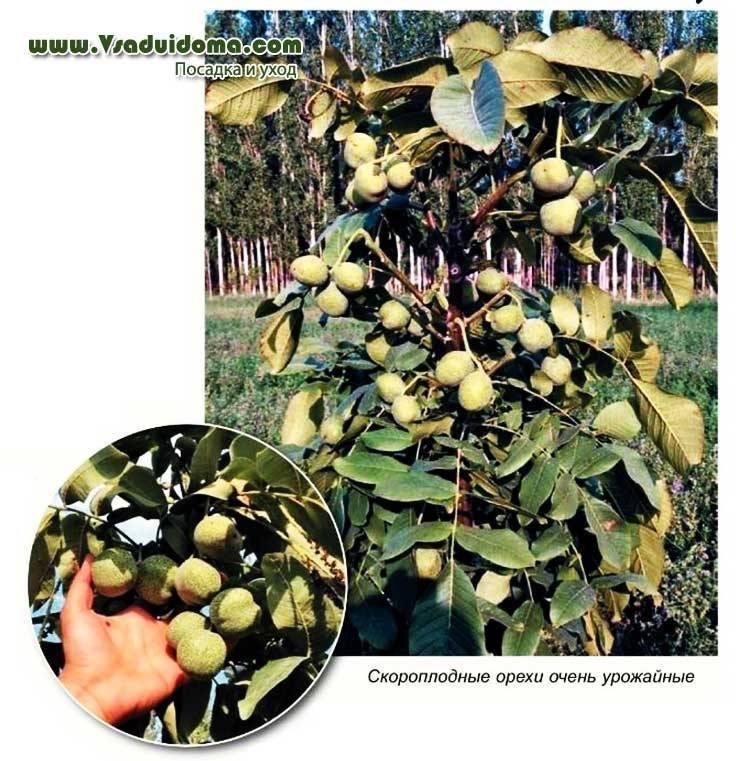 Схема посадки грецкого ореха сорта идеал