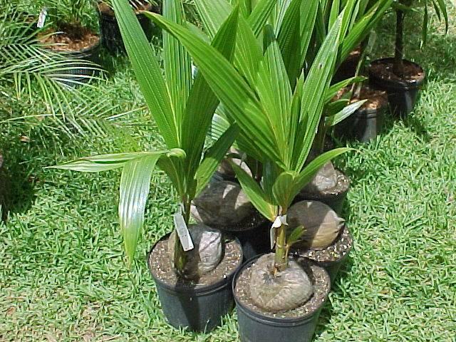ᐉ как вырастить кокосовую пальму - godacha.ru