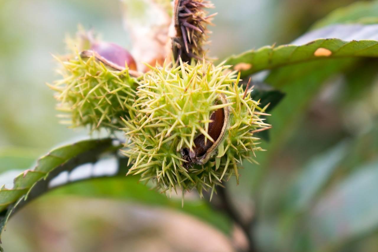 Каштан съедобный ореховое лукошко посадка и уход
