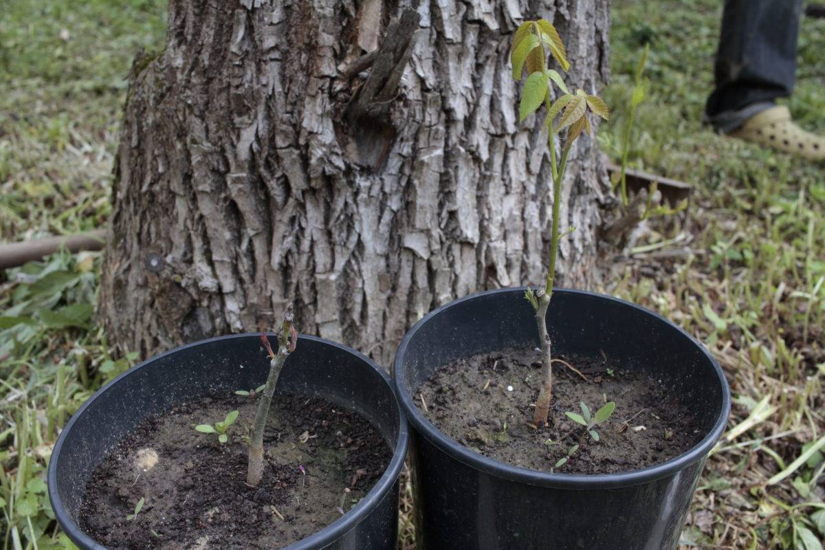 Как посадить грецкий орех: выращивание и уход, размножение и борьба с болезнями