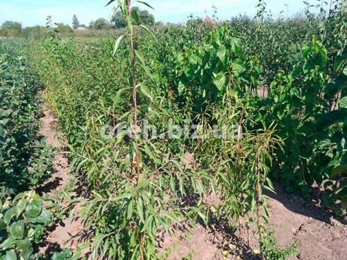 Как вырастить миндаль в открытом грунте, можно ли сажать дома? посадка и уход за деревом, нюансы выращивания