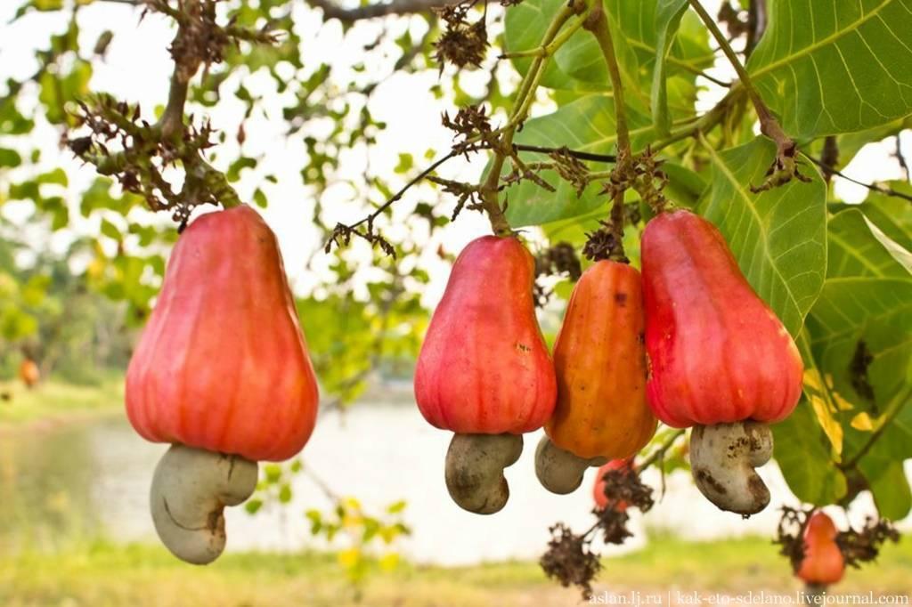 Об орехе кешью, его полезных свойствах и противопоказаниях