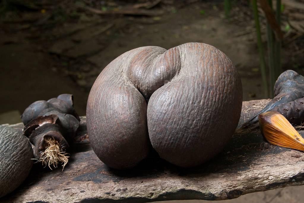 Морской орех. орехи с сейшельских островов. необычные плоды и орехи. причудливые деревья. растения. деревья. царство: phyta или plantae = растения