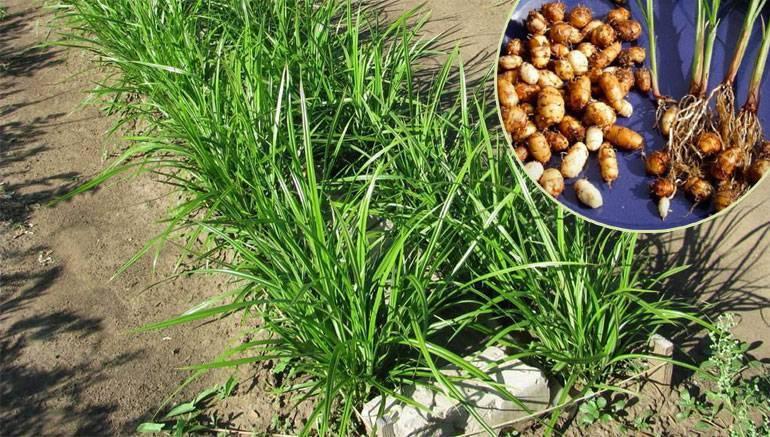 Как правильно сажать чуфу и ухаживать за земляным миндалем - выращивание и уход | описание, советы, отзывы, фото и видео
