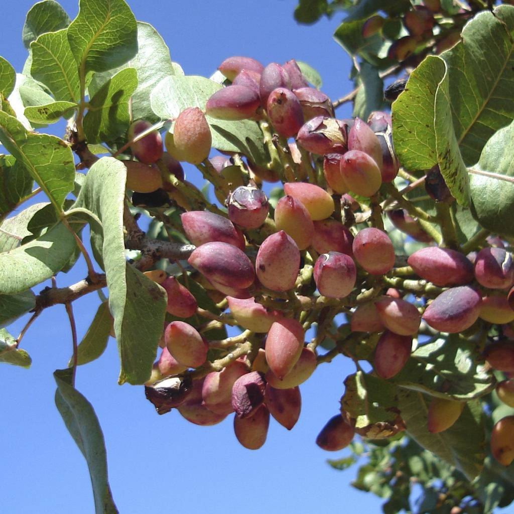 Как добывают кедровые орехи: когда плодоносит дерево, в каком месяце собирают, как происходит сбор, обработка и заготовка?