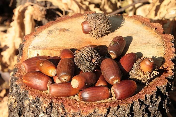 Желуди, полезные свойства, история и рецепт настойки «горный дубняк» из желудей и щепы дуба.   выживание в дикой природе