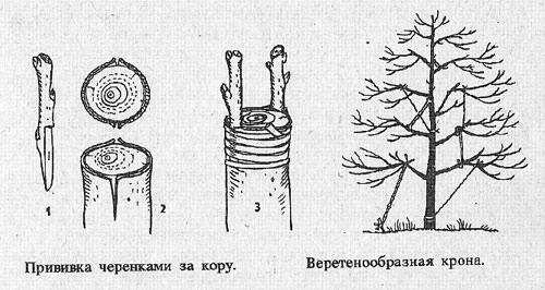 Прививка грецкого ореха. способы прививки и варианты подвоя