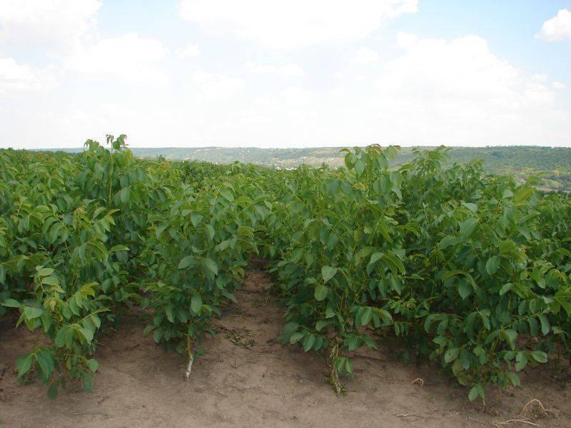 Ореховый бизнес или какова выгода от выращивания грецкого ореха