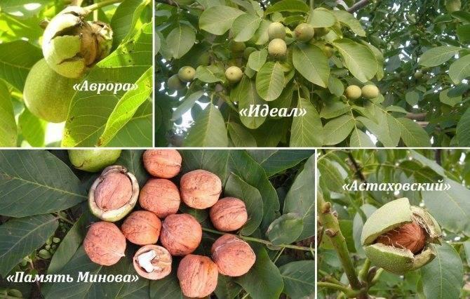 Сорта грецкого ореха: обзор лучших представителей   огородники