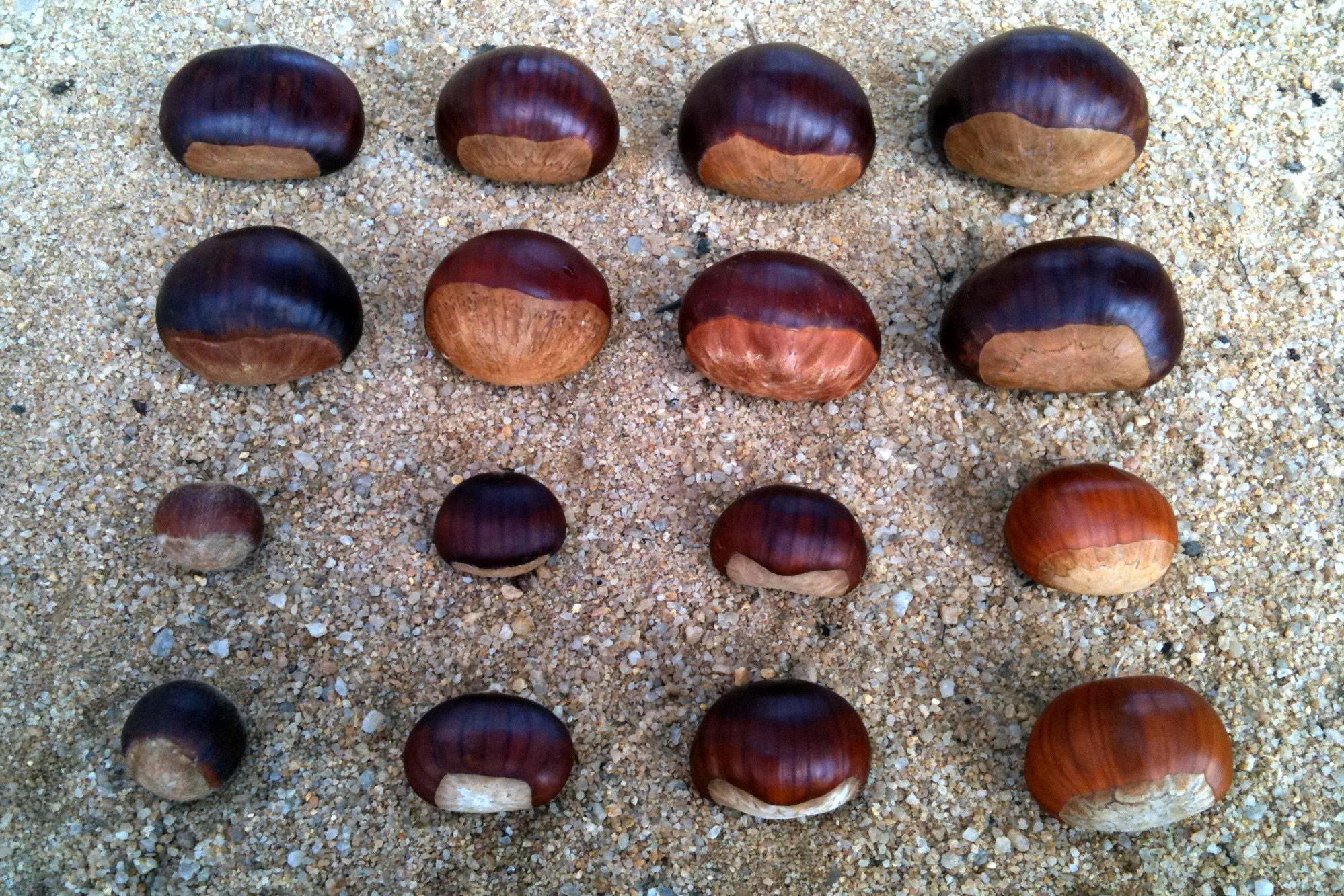 Как выращивать каштан? как правильно прорастить каштан дома из ореха? где посадить каштан на участке - sadovnikam.ru