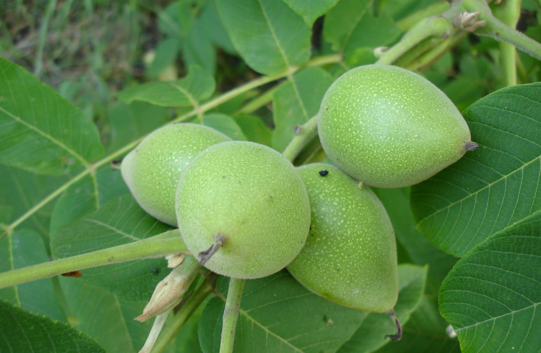 Орех серый: выращивание, чем отличается от маньчжурского ореха