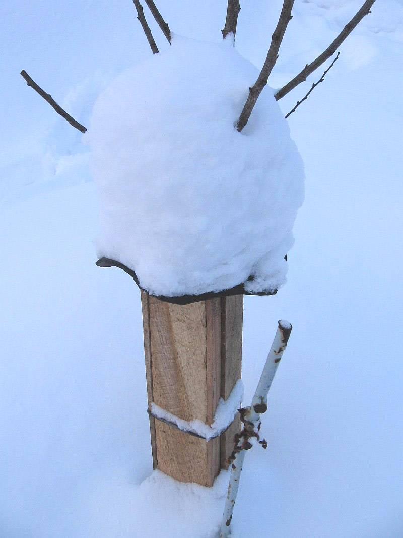 Как утеплить грушу на зиму: уход осенью, правила подготовки, укрытие молодых саженцев, старых деревьев в подмосковье