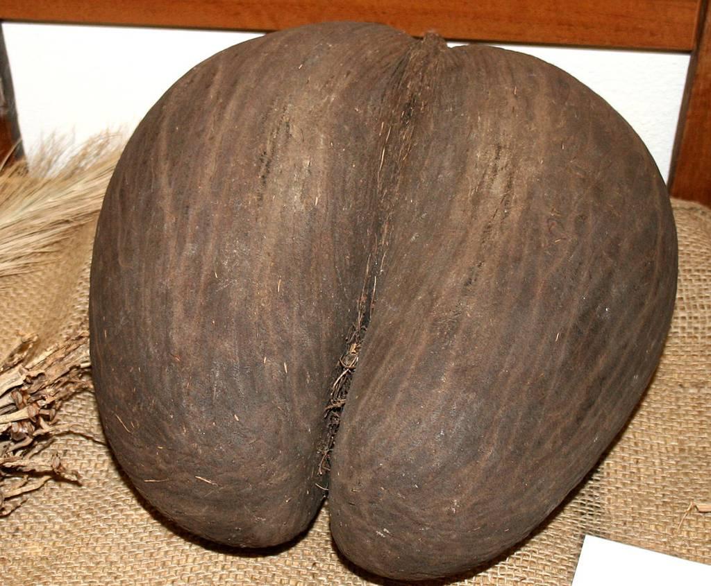 Коко-де-мер - чудо природы. где растет и чем полезен этот орех?   дары природы.су