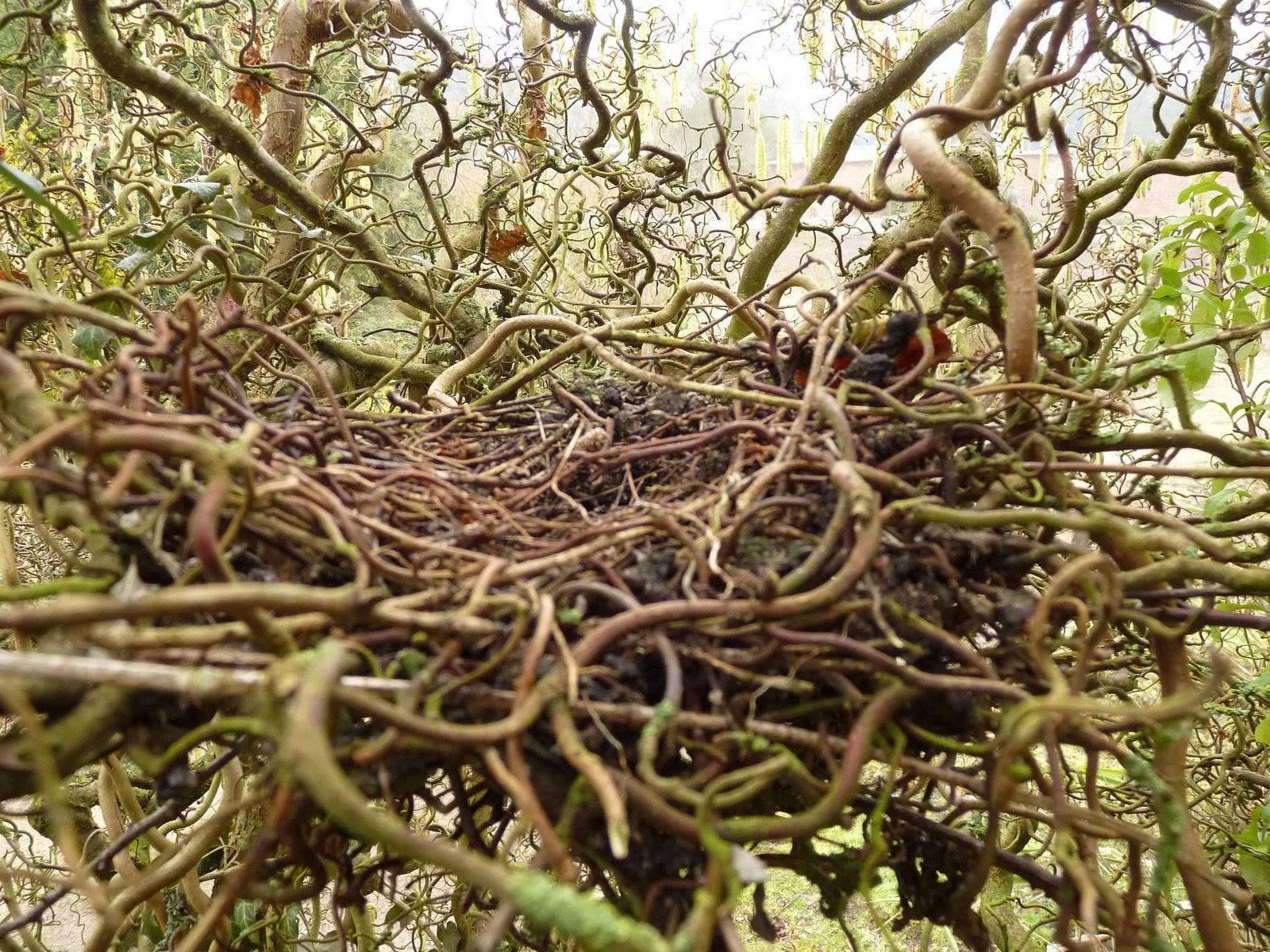 Лещина: описание сортов и видов орешника, цели и особенности выращивания