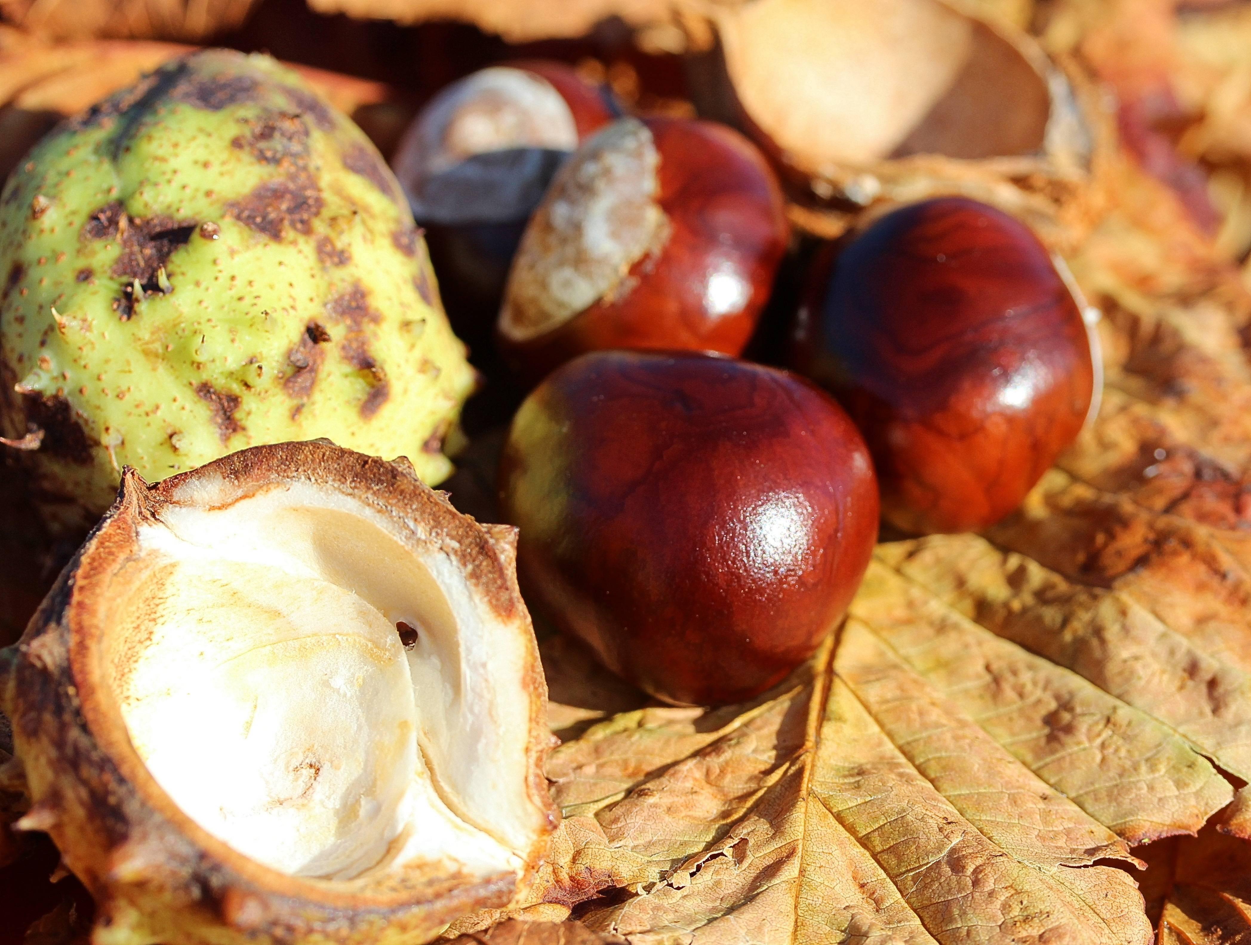 Каштан: польза и вред, как готовить, сохраняя полезные свойства, противопоказания