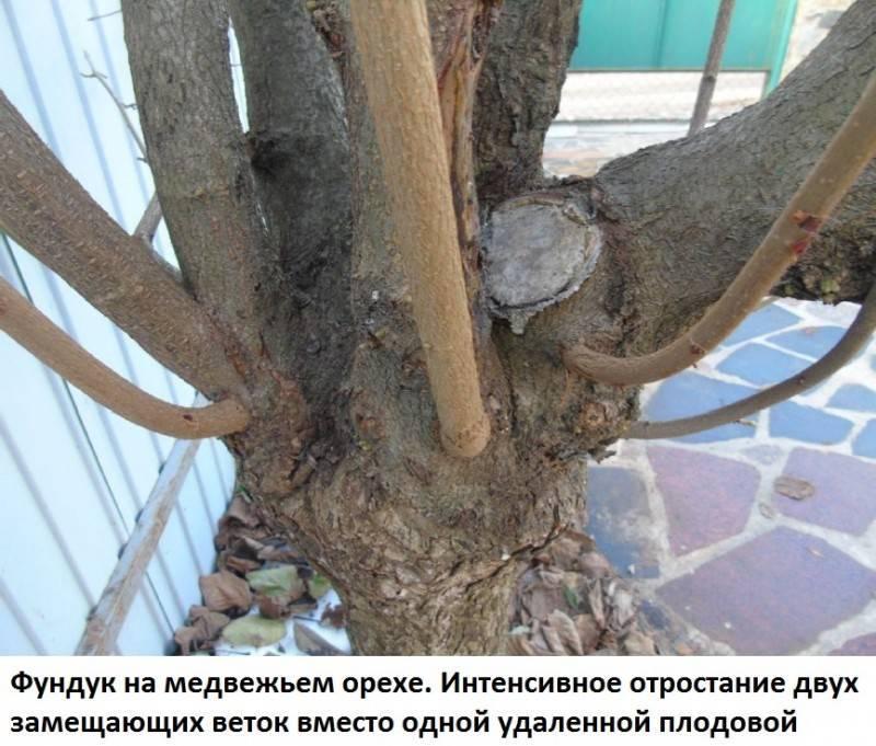 Медвежий орех (лещина древовидная)