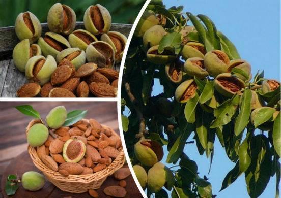 Молодой миндаль: польза и вред свежих орехов молочной спелости, полезные свойства, противопоказания, и что делать с зелёными недозрелыми плодами, можно ли их есть?