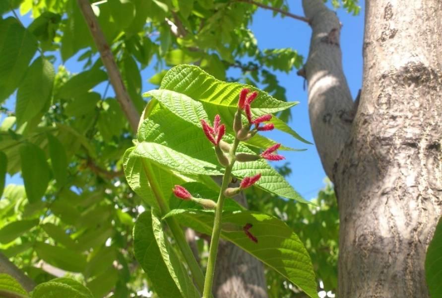 Маньчжурский орех: как вырастить, посадка и уход, фото